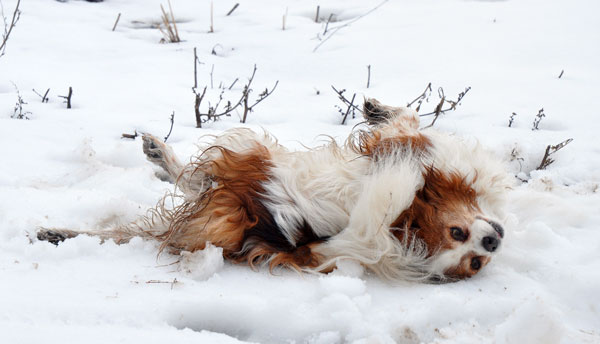 muffins-dog-rolling-in-snow