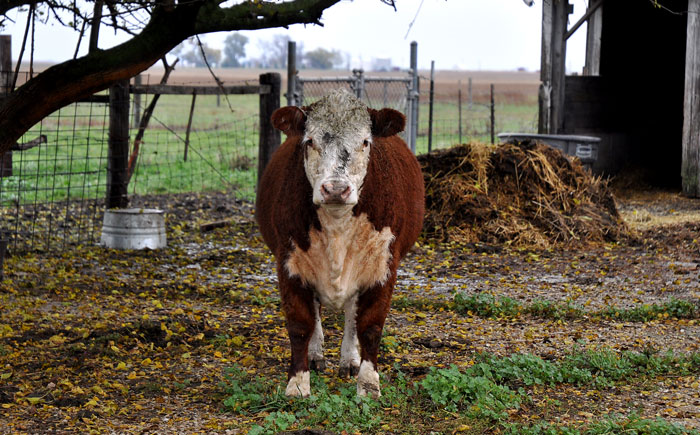 Queenie Wineti is a Hereford heifer.