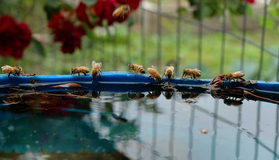 The bees drink fro the many water barrels that dot the gardens.
