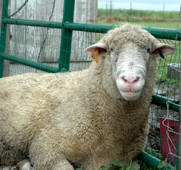 Hairy MacLairy is a pure bred Dorset sheep. He is our resident ram.