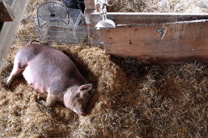 big-pig-012