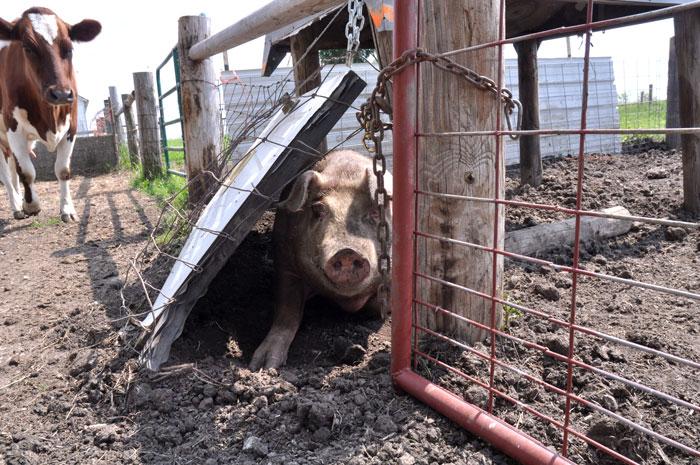 big-pig-025
