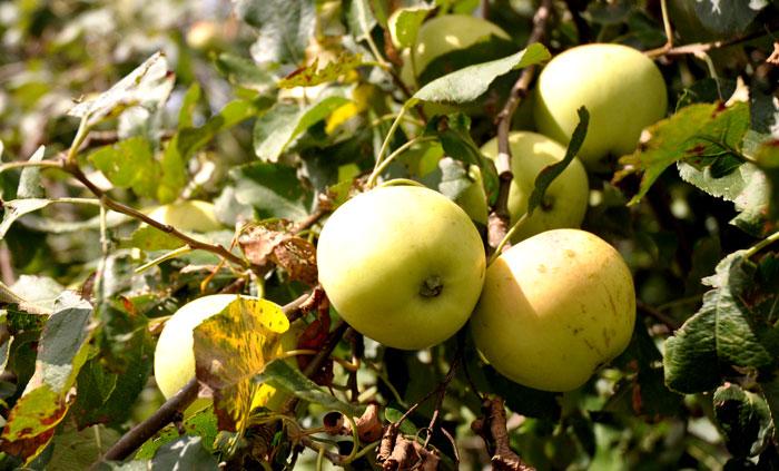 apples-003