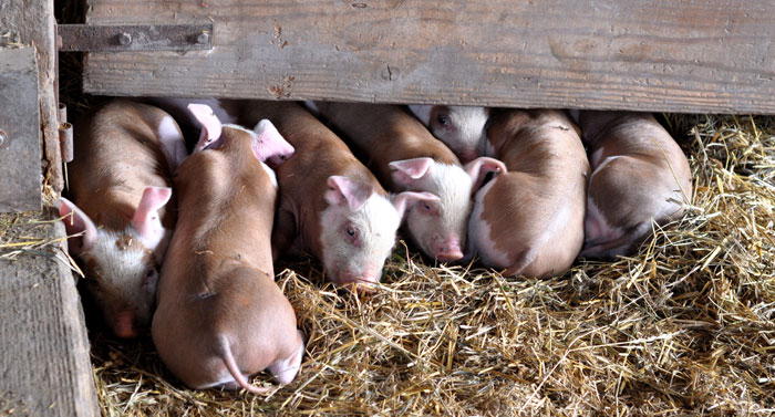 piglets-in-a-line-008