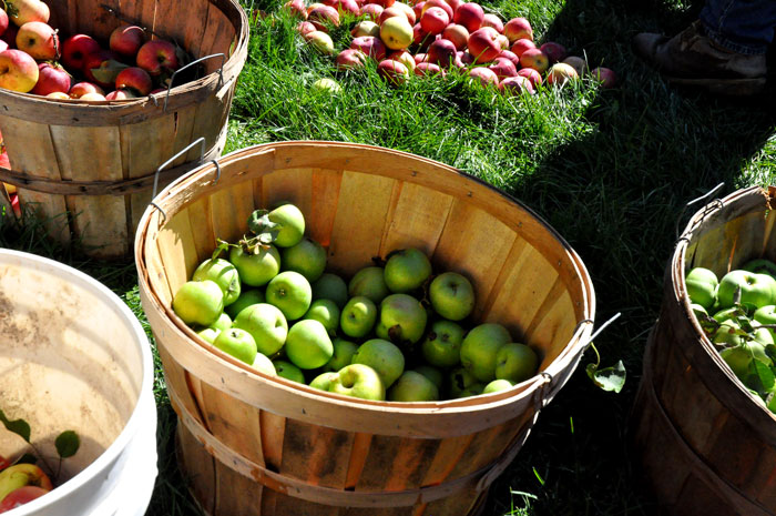 apples-for-apple-cider-049