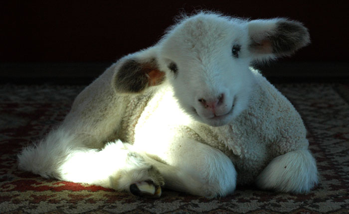 Marcel, the orphan lamb arrived February 2014