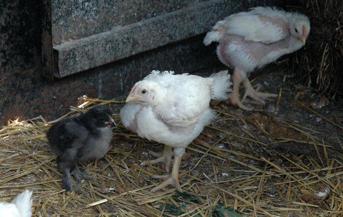saving-the-chickens-019