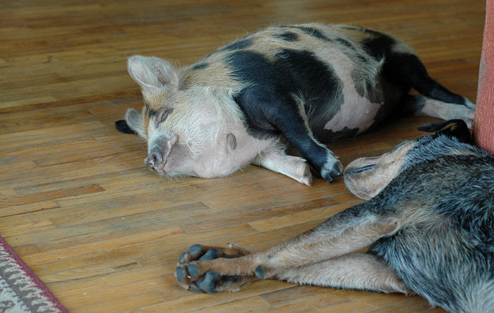 Tima the Kunekune gilt will also one day be a Mama - hopefully, sept 14