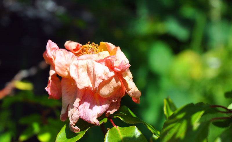flowers-of-new-Zealand-012