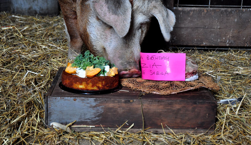 pig and cake6