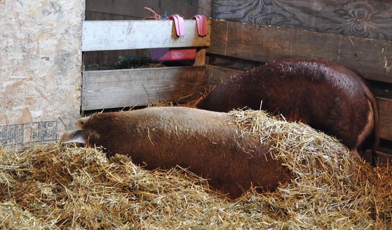 hog sleeping