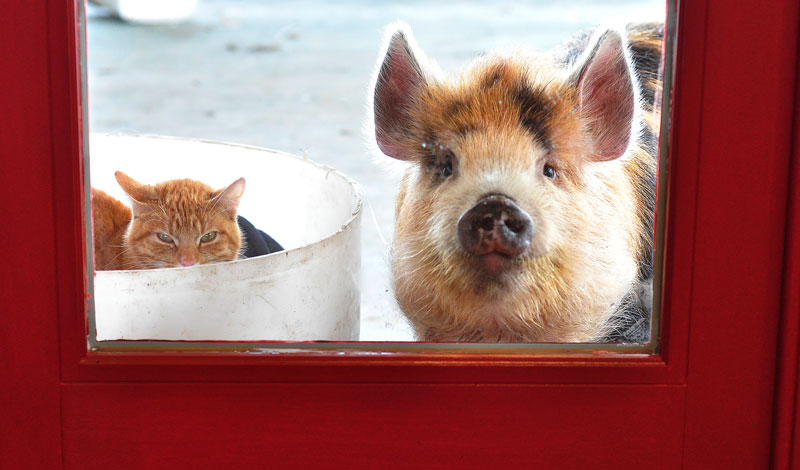 kunekune pig and cat