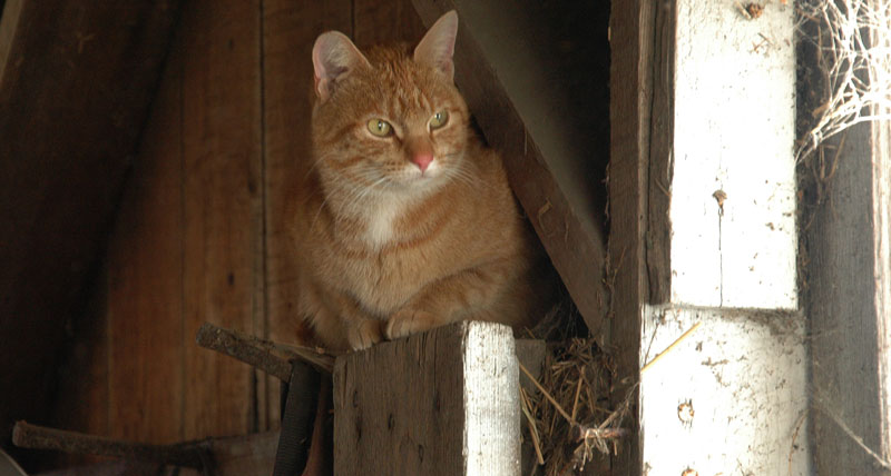 cats and barns