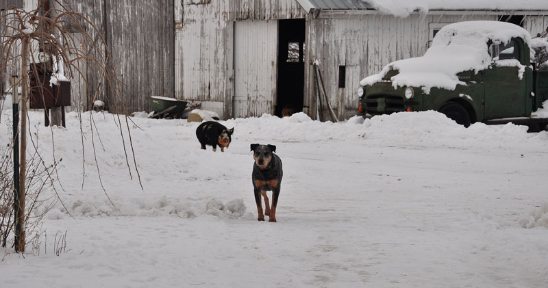 dog and pig in snow