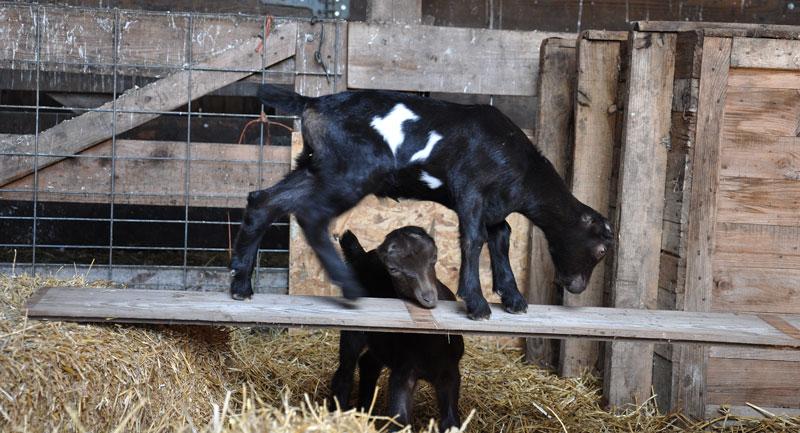 la mancha kid goats