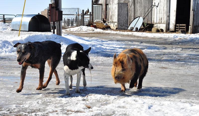kunekune and dogs