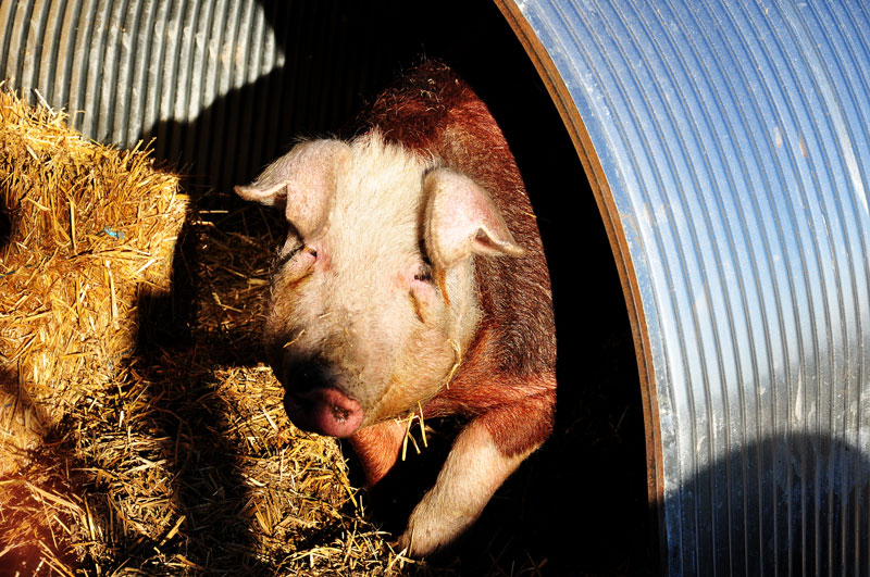 farm-animals-007