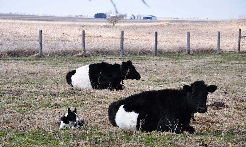 Dutch Belted Cows