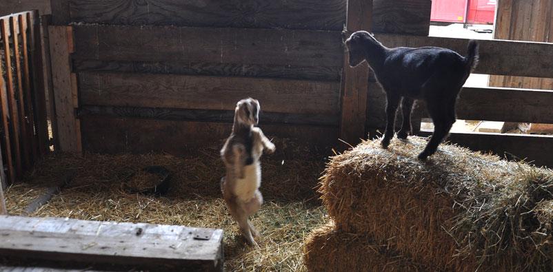 goat-kids-2-025