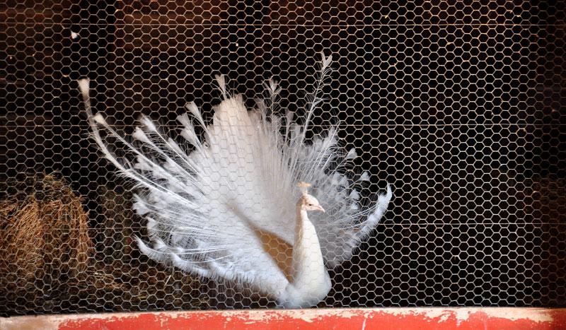godot-peacock-065