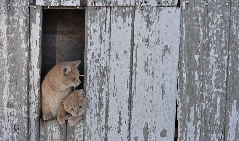 cats in barn