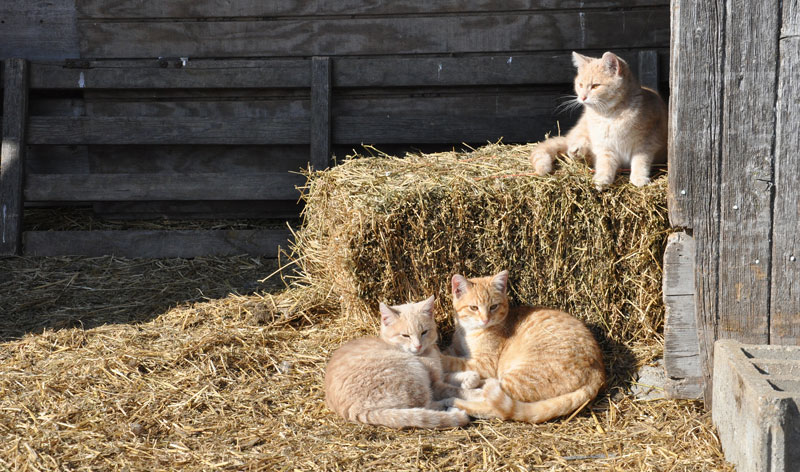 cats in barn9
