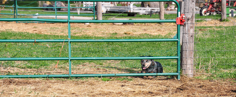 dog on farm