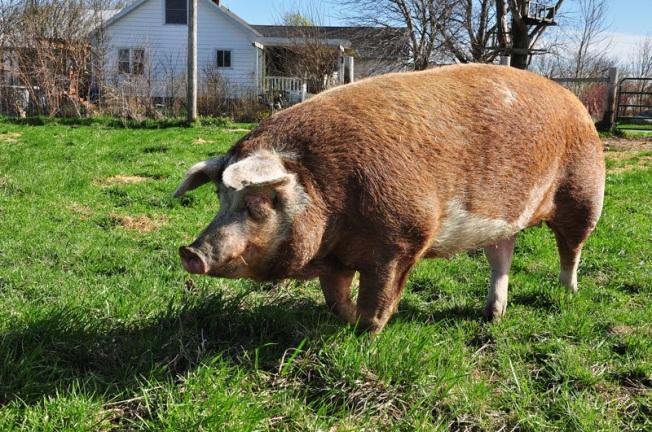 sheila my big fat pig