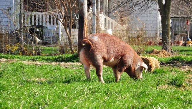 poppy - hereford pig