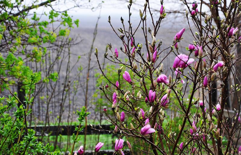 rain-magnolia