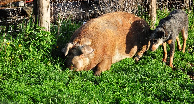 sheila the big fat pig