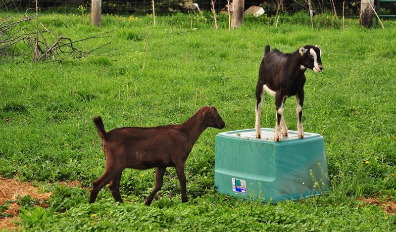 la mancha goats