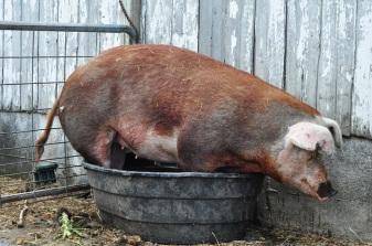 pig-in-a-pot-2