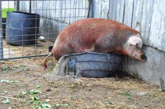 pig-in-a-pot-6