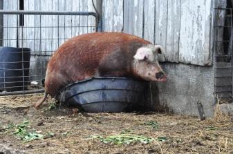 pig-in-a-pot-7