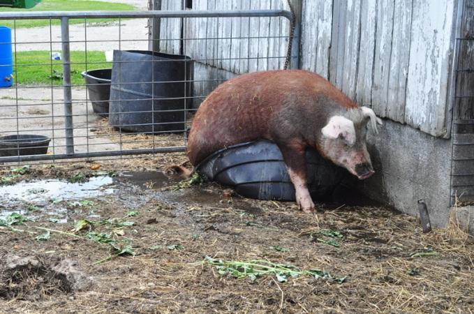 pig-in-a-pot-8