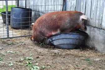pig-in-a-;pot