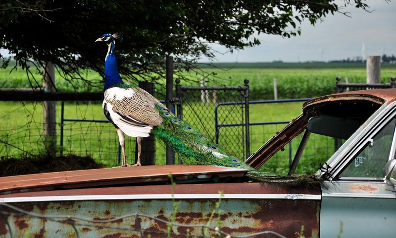 peacock on car