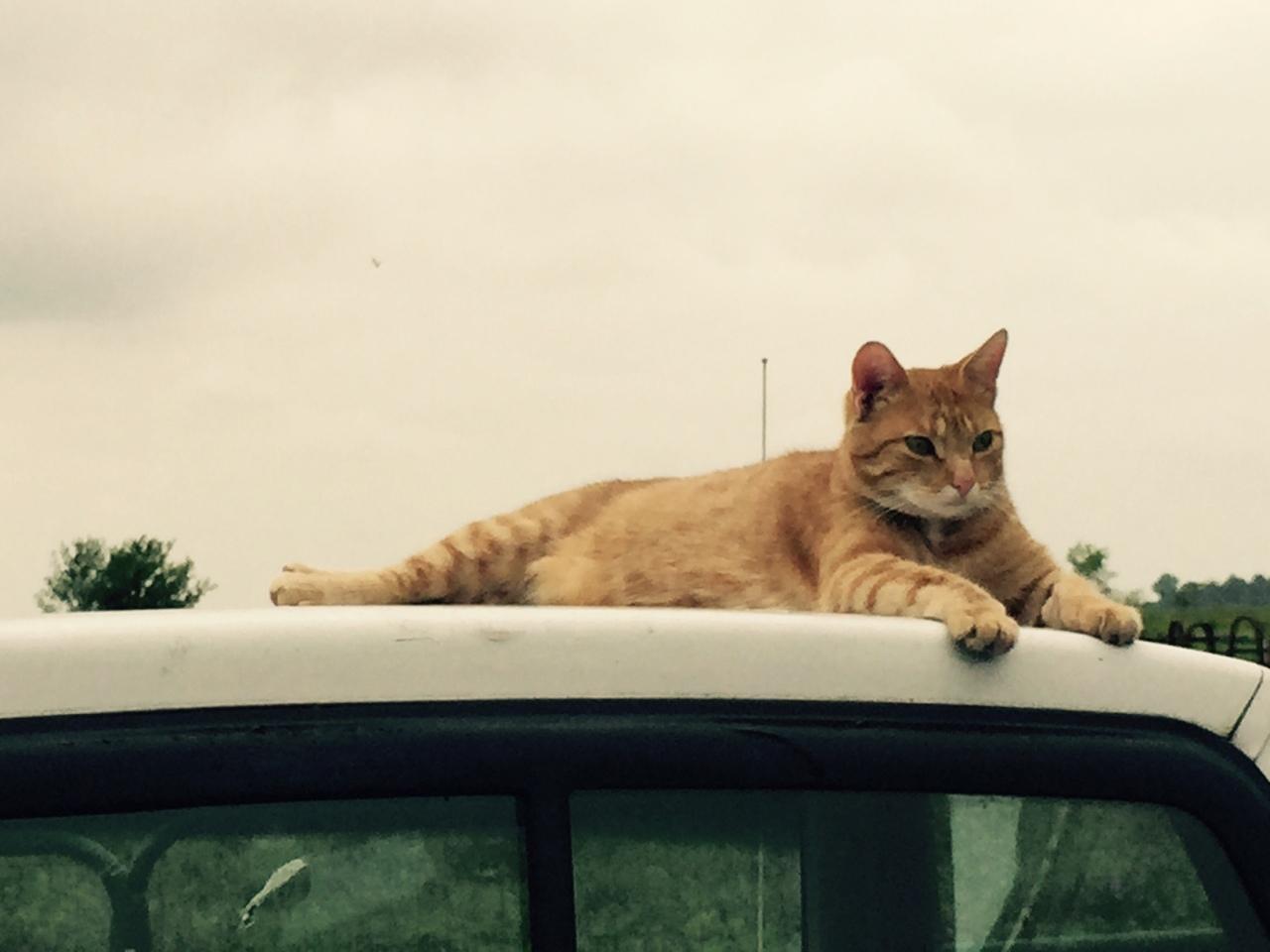 cat on truck