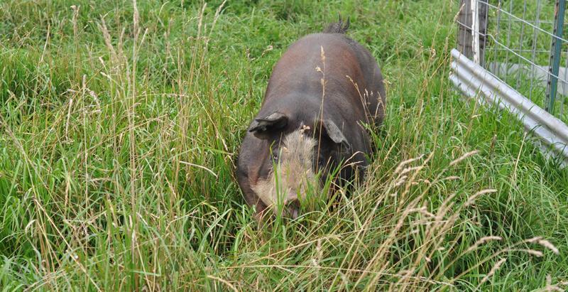 manu the boar
