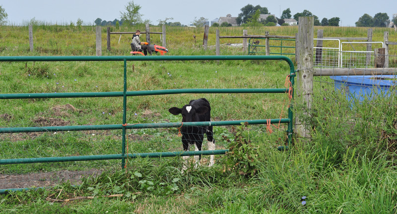 calf and boy mowing