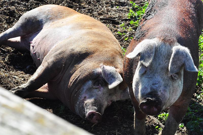 big fat pigs