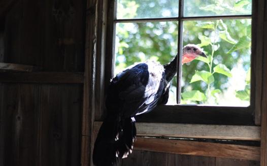 spanish black turkeys