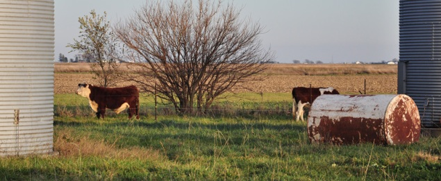 field with cows
