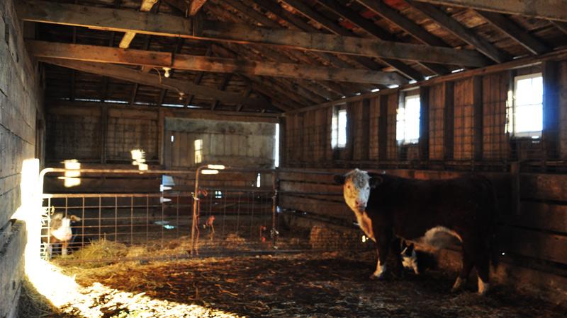 cow in barn