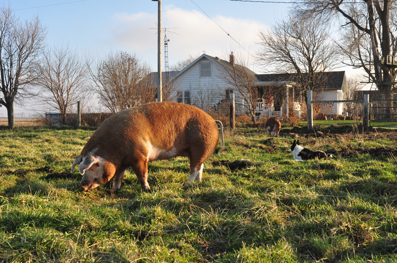 hereford pigs