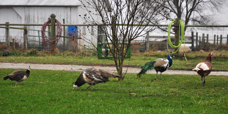 peacocks and turkeys
