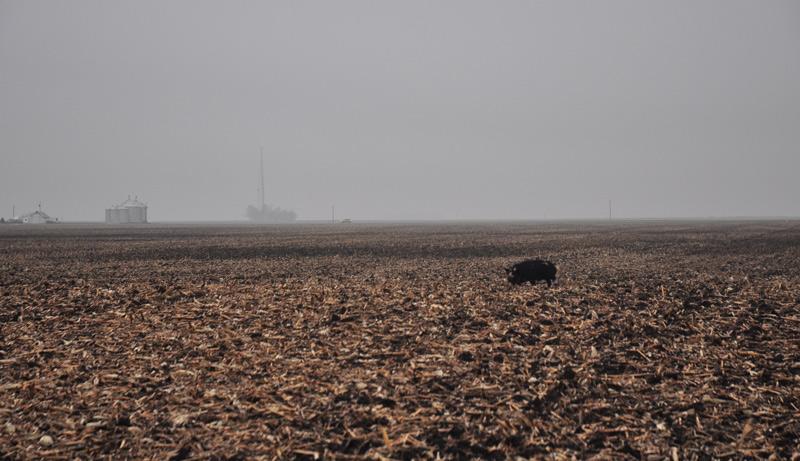 kunekune in field