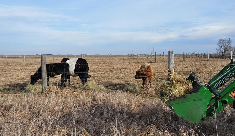 cows hay