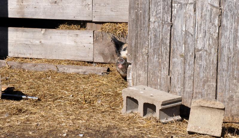 pig in barn